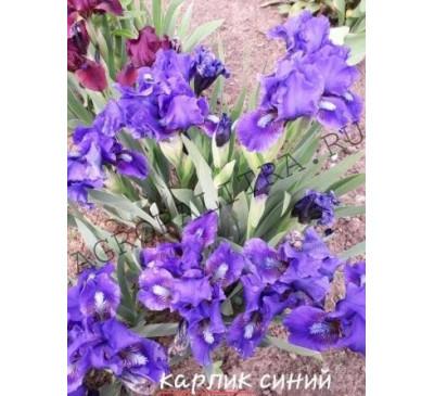 Ирис сибирский Карлик синий Cherry Garden