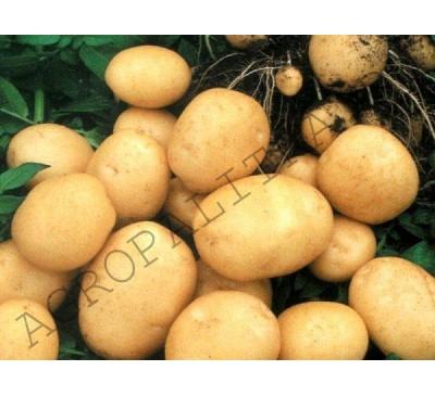 Семенной картофель Голубизна